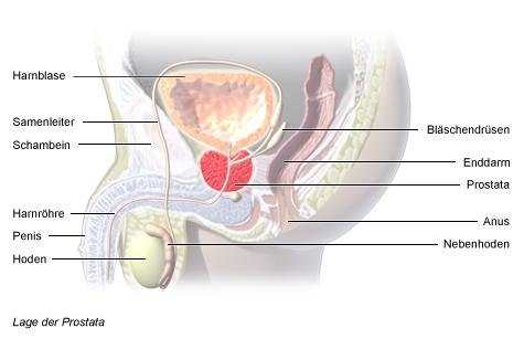 Lage der Prostata im Körper eines Mannes