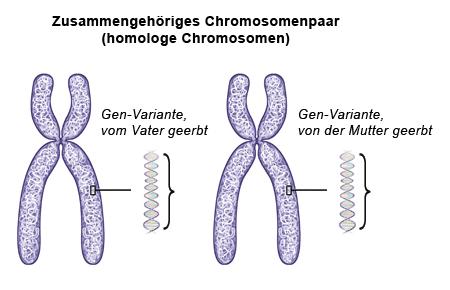 Grafik: Im menschlichen Erbgut liegen die Chromosomen paarweise vor - wie im Text beschrieben