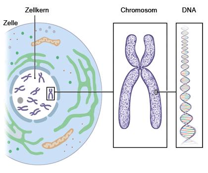 Grafik: Im Zellkern befinden sich mehrere Chromosomen aus DNA - wie im Text beschrieben