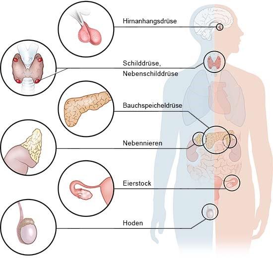 Grafik: Die wichtigsten endokrinen Drüsen im Körper - wie im Text beschrieben