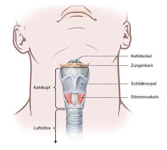 Grafik: Aufbau des Kehlkopfs
