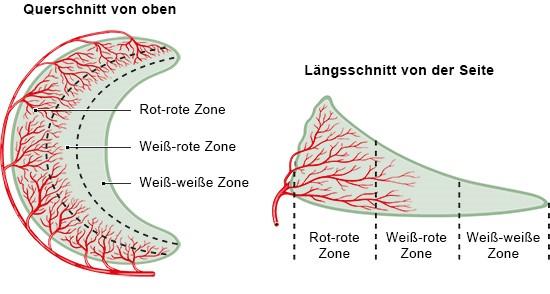 Grafik: Durchblutungs-Zonen im Meniskus