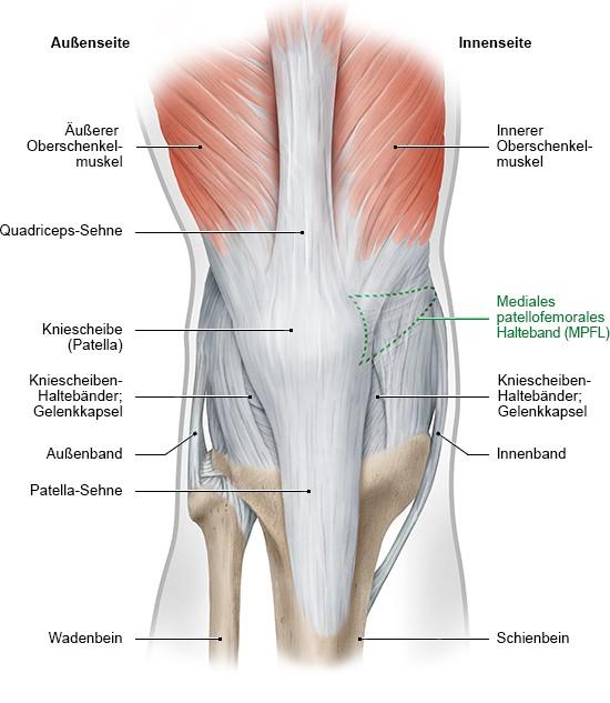 Grafik: rechtes Knie von vorne mit Haltebändern und Oberschenkelmuskeln