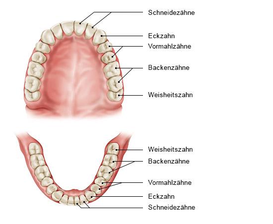 Grafik: Ober- und Unterkiefer mit Weisheitszähnen