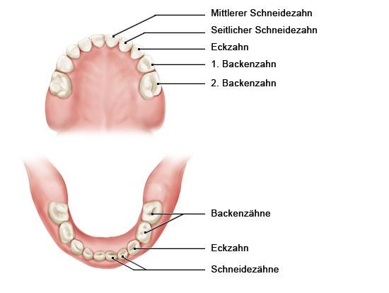 Grafik: Das Milchgebiss besteht nur aus 20 Zähnen