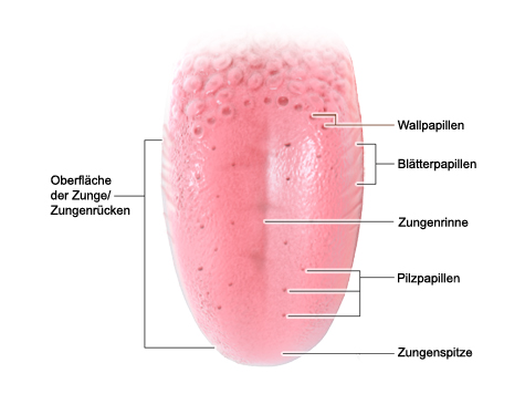 Grafik: Aufbau der Zunge